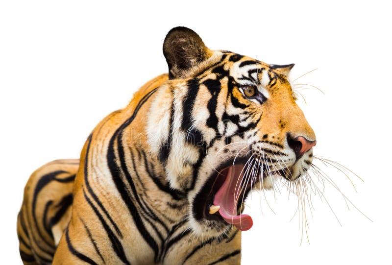 Isolado de Tiger Roaring do Siberian no fundo branco com grampeamento fotografia de stock royalty free