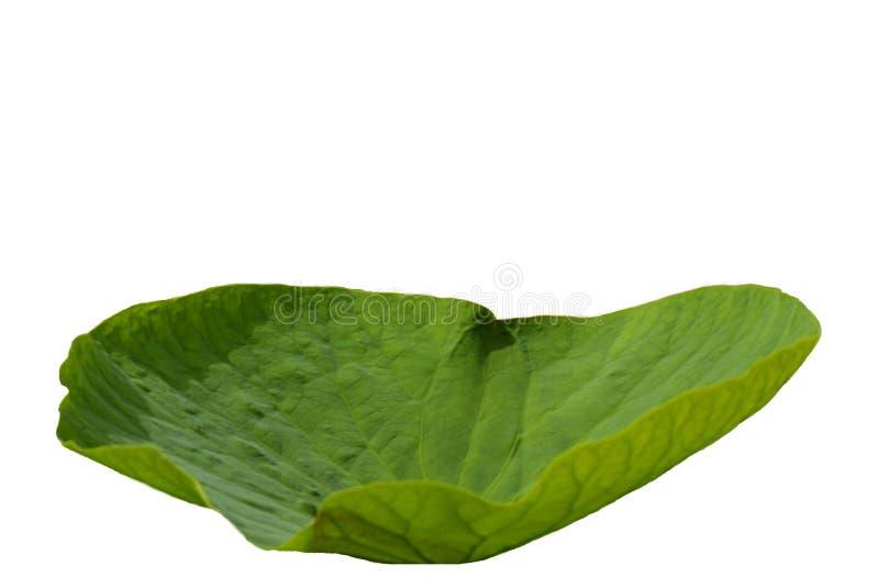 Isolado Folha redonda de Lotus em um fundo branco fotos de stock royalty free