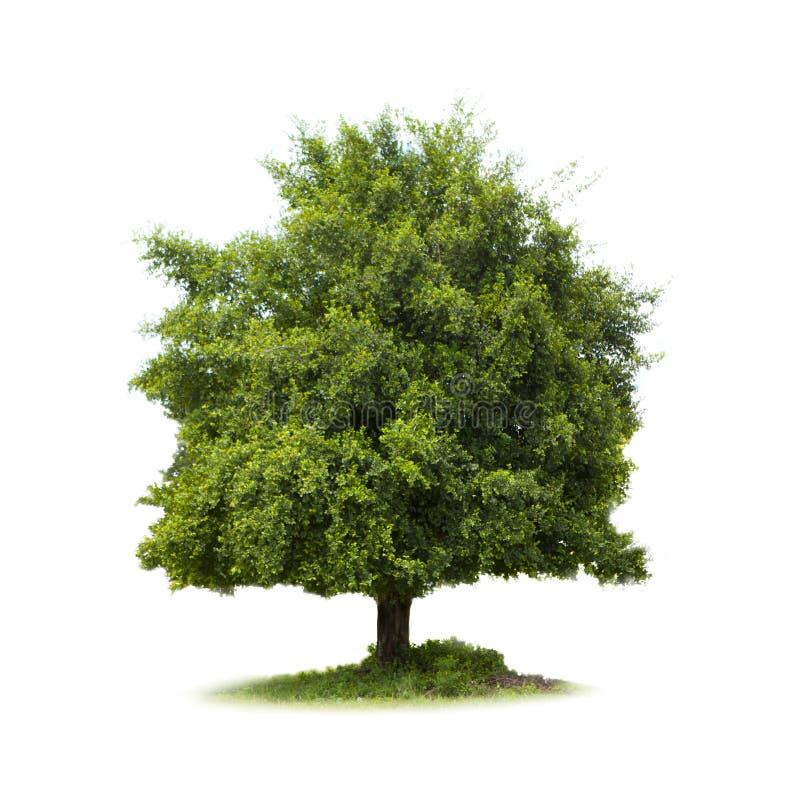 Isolado grande da árvore foto de stock royalty free