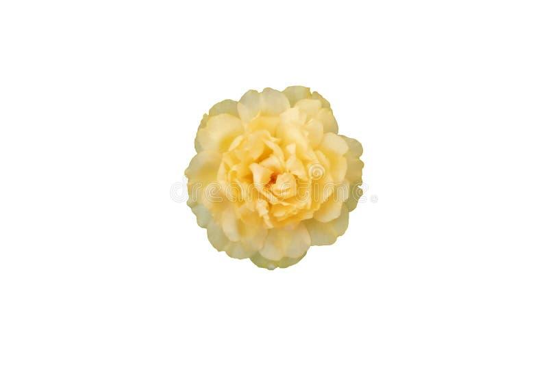 Isolado grandiflora da flor do portulaca amarelo ou alaranjado no fundo branco imagens de stock