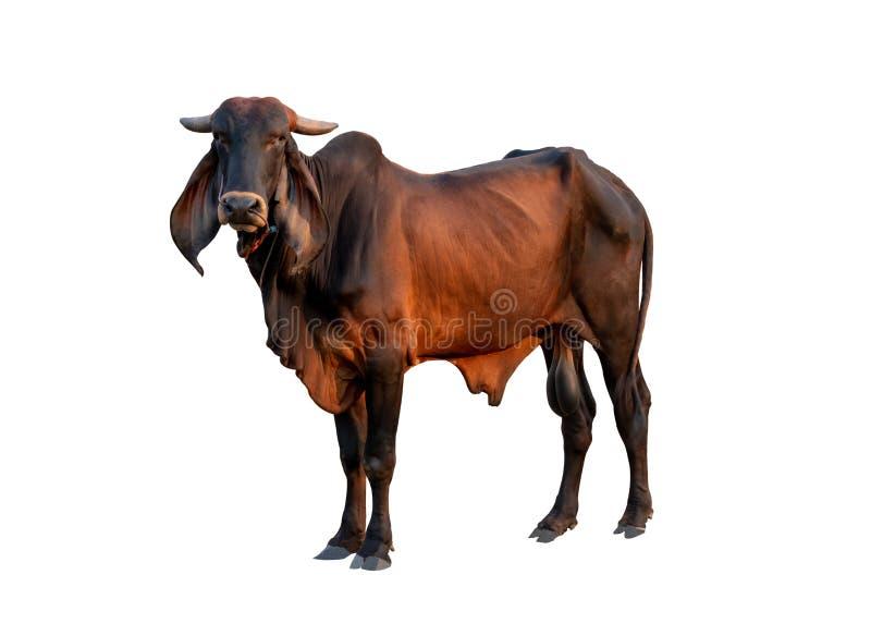 Isolado masculino da vaca do bom brahman no fundo branco foto de stock royalty free