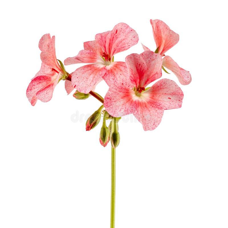 Isolado na flor branca da casa do fundo Pelargonium, o famil imagem de stock