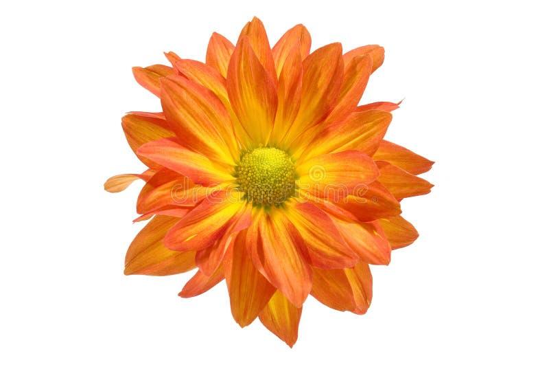 Isolado perto acima da flor alaranjada do crisântemo em w imagens de stock royalty free