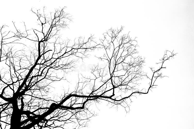 Isolado preto da árvore do ramo no fundo branco foto de stock