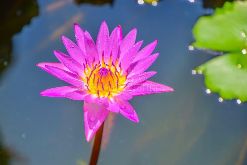 Isolado roxo da flor de lótus: A florescência da flor E pólen amarelo macio no banho maria na luz do sol fotografia de stock royalty free