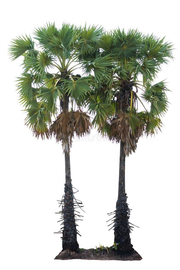 Isolado tropical da árvore da palma foto de stock