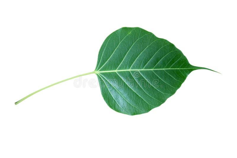 Isolado verde da folha de Bodhi no fundo branco imagens de stock