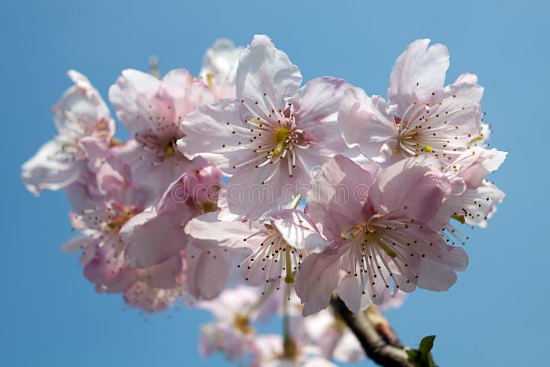 Isolat de fleur de cerise avec la couleur de bleu de ciel images libres de droits
