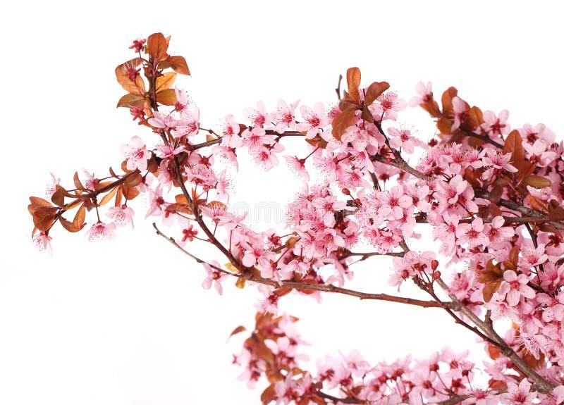 Isolat de fleurs de cerisier Sakura Belles fleurs roses images libres de droits