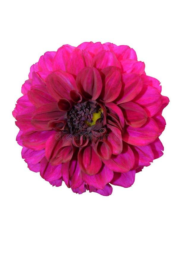 Isolat de Violet Gergina Flower Close Up sur le fond blanc image stock