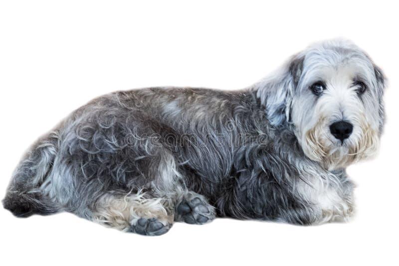 Isolat de Yorkshire Terrier sur le fond blanc, vue de face, chemin de coupure photos stock