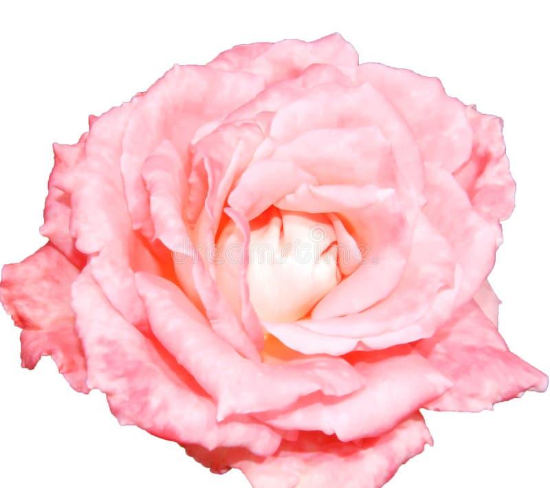 Isolat för rosa färgrosblomma royaltyfri foto