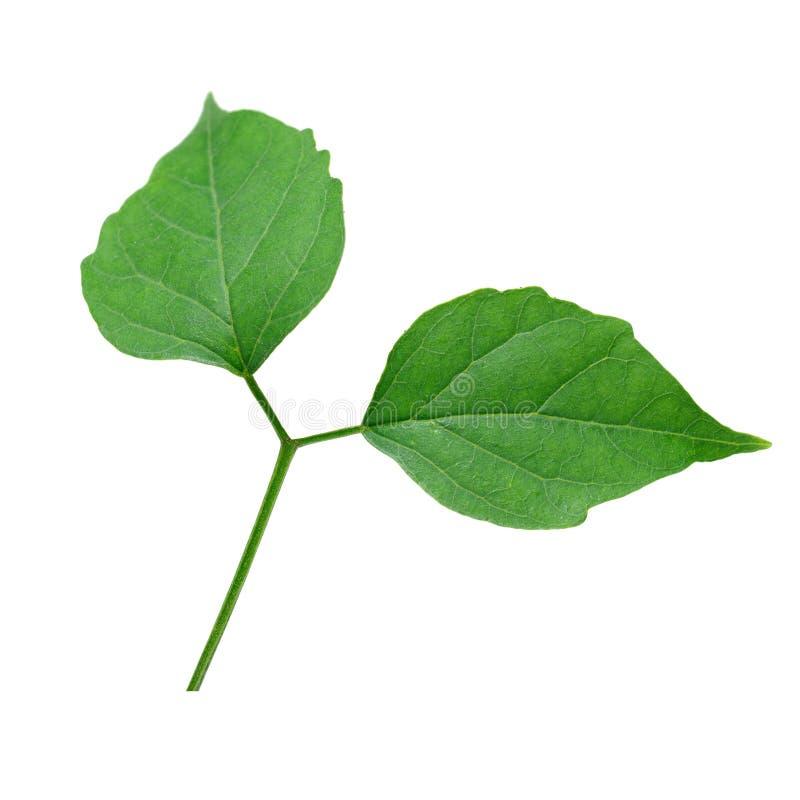 isolat indien de feuilles d 39 arbre de li ge sur le fond. Black Bedroom Furniture Sets. Home Design Ideas