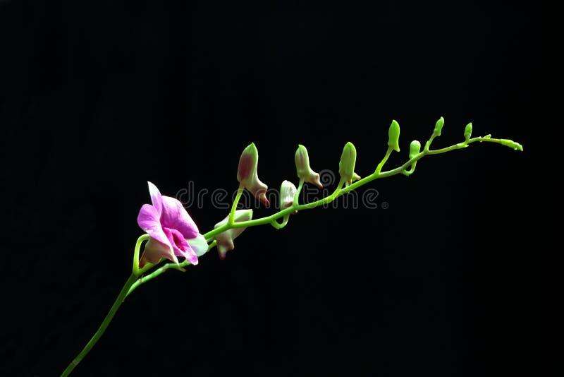 Isolat pourpre d'orchidée photos libres de droits