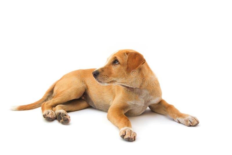 Isolat thaïlandais de chien de dos de Ridge images stock