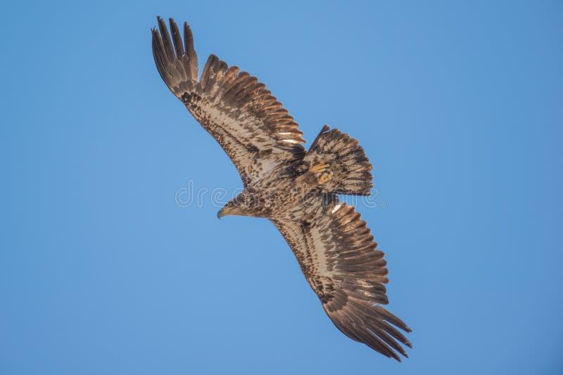 Isolata acerba dell'aquila calva ed in ascesa nei cieli blu durante le migrazioni iniziali della molla nell'area della fauna selv fotografie stock libere da diritti