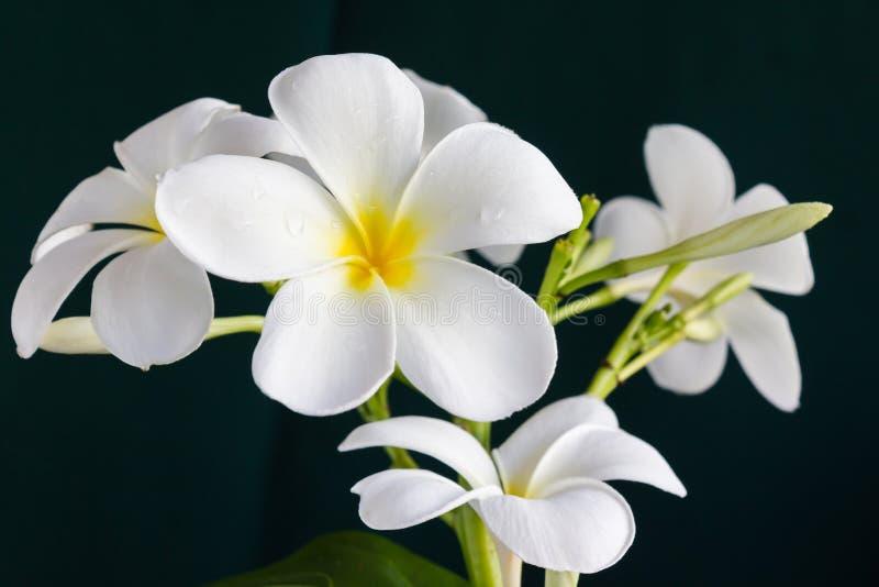 Isolate beautiful charming white flower plumeria stock image