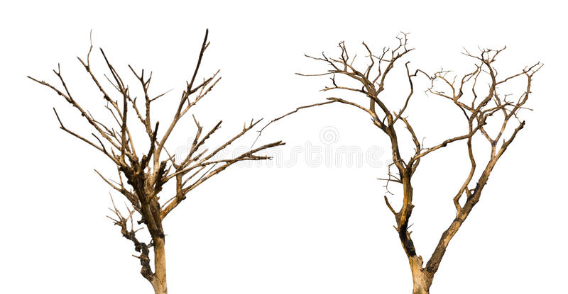 Isolate dry dead trees. stock images
