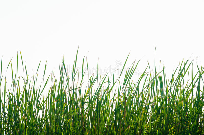 Isolate high green grass. Under the white sky stock images
