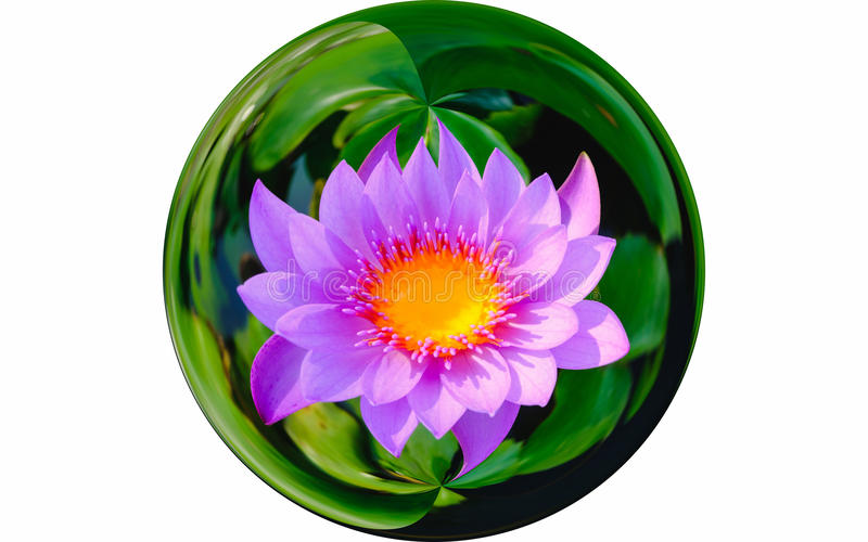 Isolate image on top view beautiful purple water lily or purple lotus flower blooming in glass ball effect. royalty free stock photo