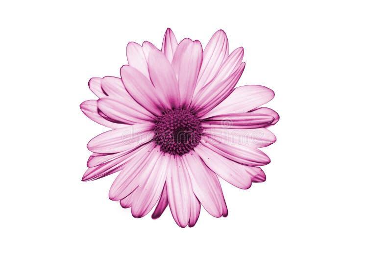 Isolate Purple Flower On White Background Royalty Free Stock Image