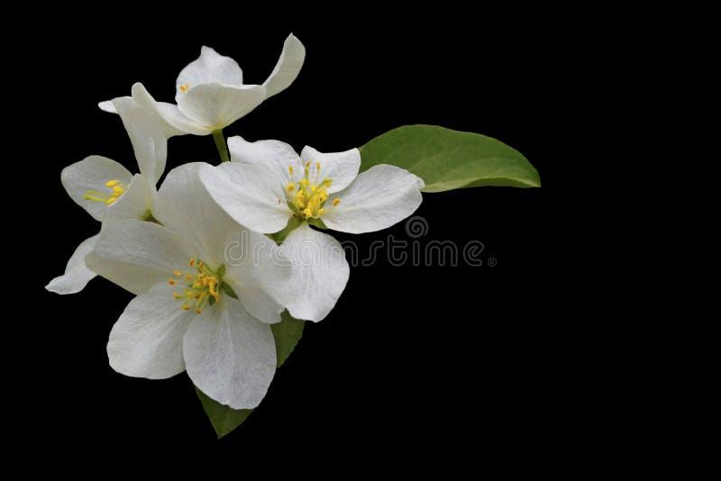 isolate Ramo de árvore de florescência de Apple no fundo preto fotos de stock royalty free