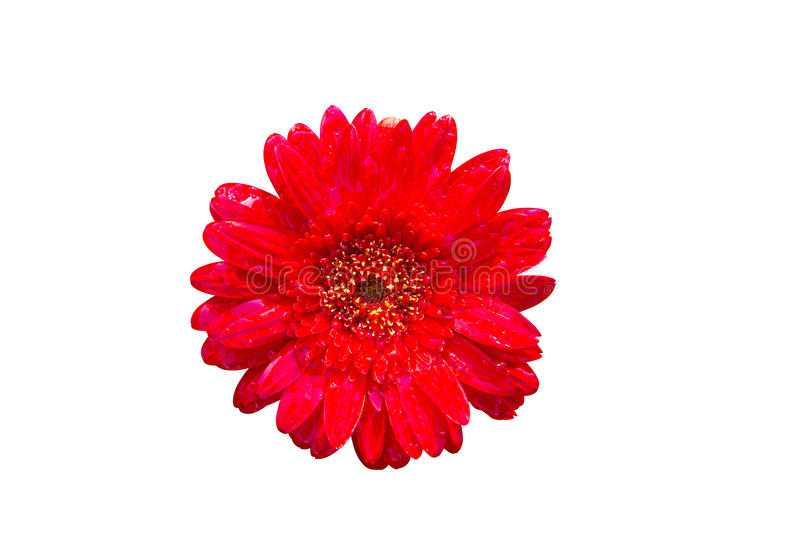 Isolate red flower on the white backgroung stock photography