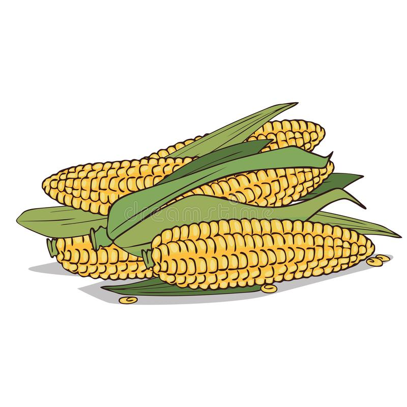 Isolate ripe corn ears or cobs. On white background. Close up clipart with shadow in flat realistic cartoon style. Hand drawn icon stock illustration