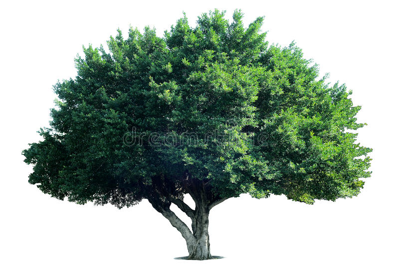 Isolate Tree stock images