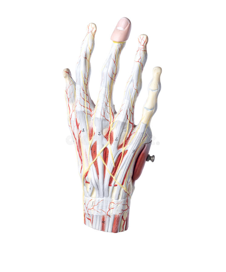 Isolated anatomic model of a human hand royalty free stock photos
