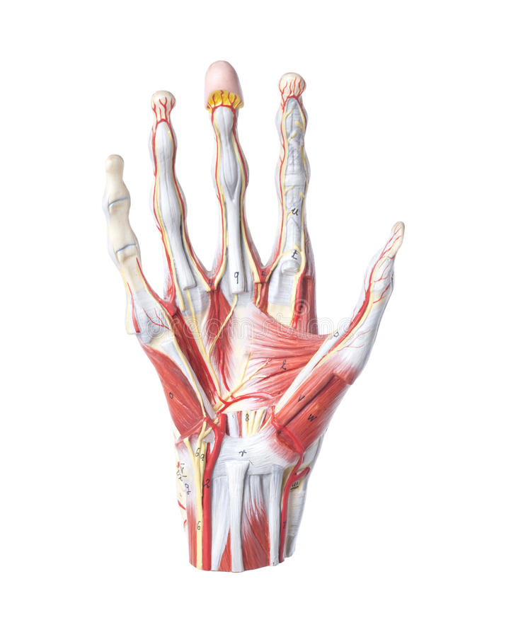 Isolated Anatomic Model Of A Human Hand Stock Image - Image of ...