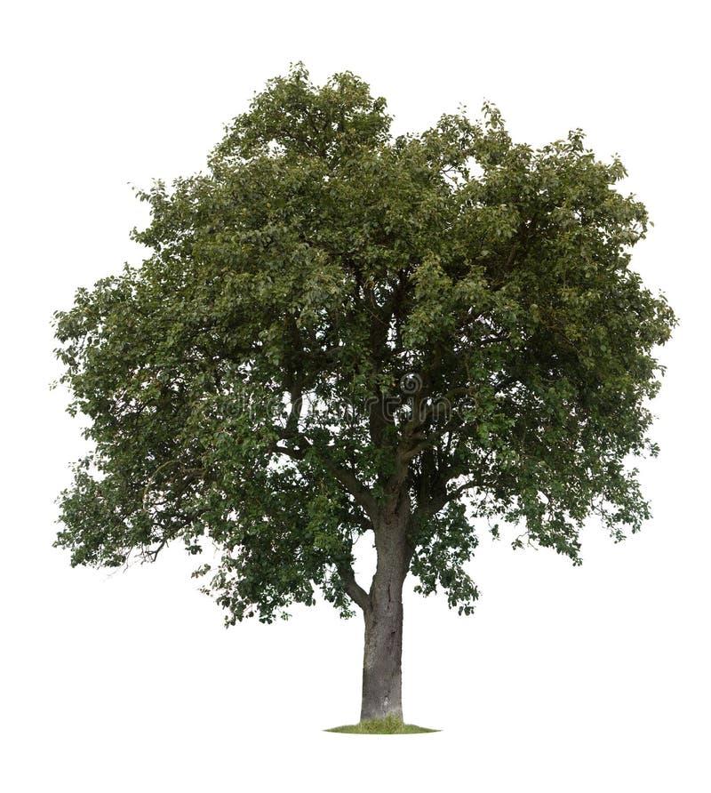 Isolated Apple Tree royalty free stock image