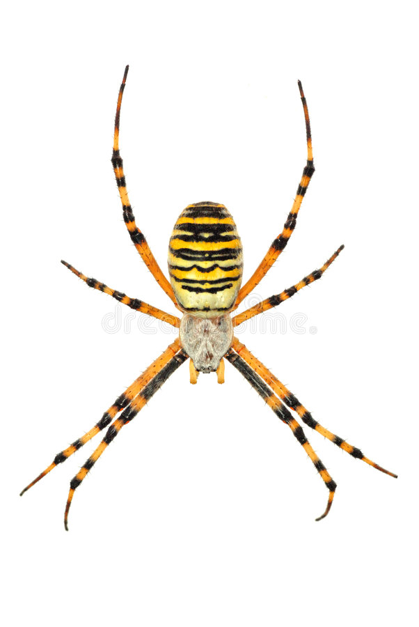Isolated argiope spider. Opened legs stock photography