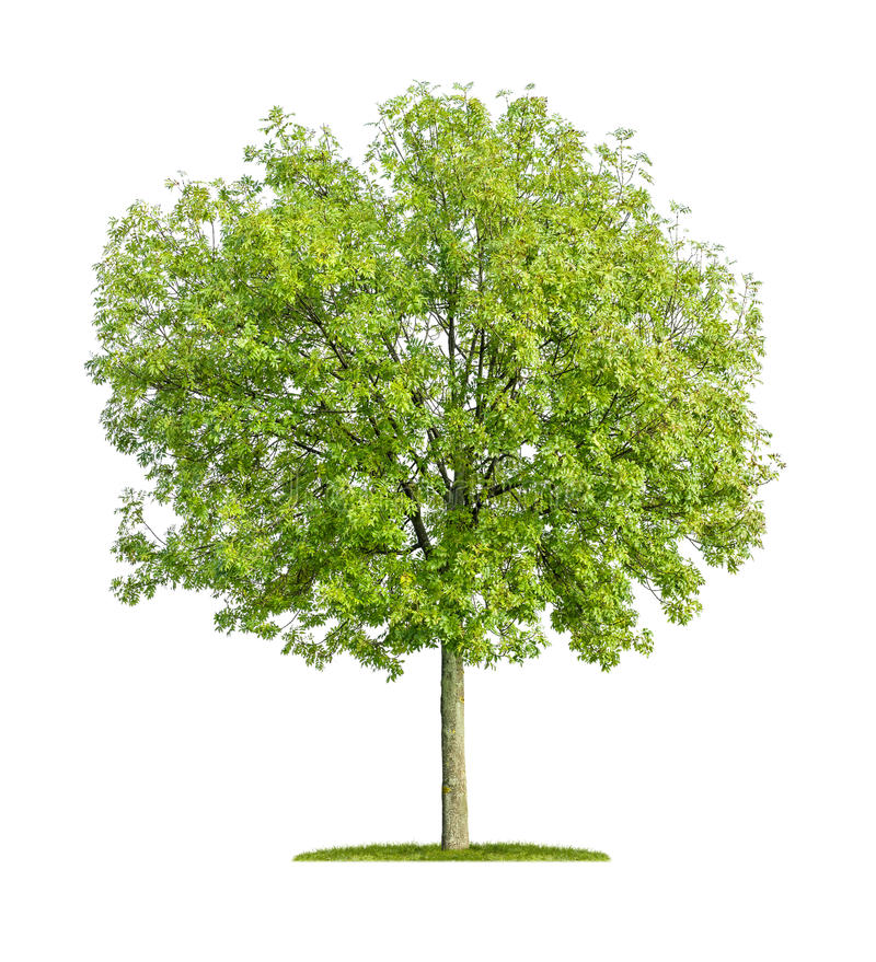 Isolated ash tree royalty free stock image