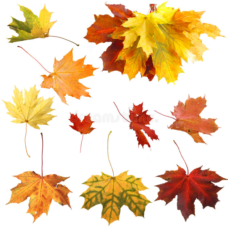 Download Isolated Autumn Maple Leaves Stock Photos - Image: 34331313