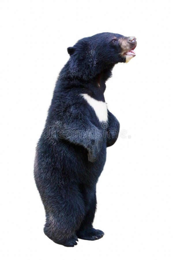 Download Isolated baby black bear stock photo. Image of legs, lovely - 24091422