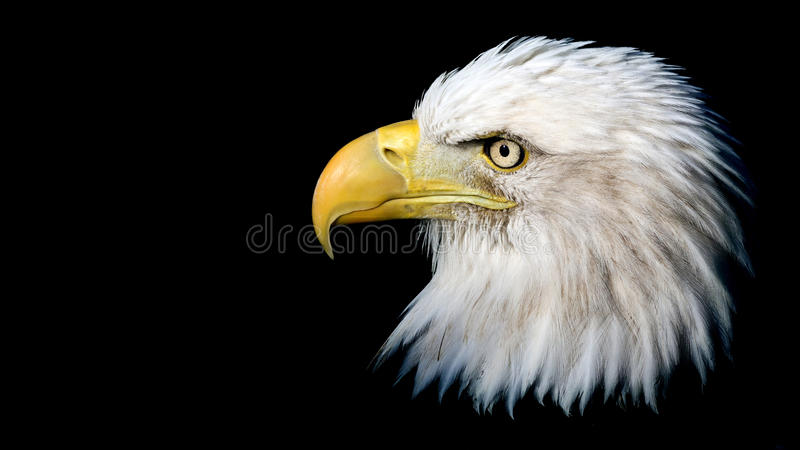 Isolated Bald Eagle royalty free stock photography