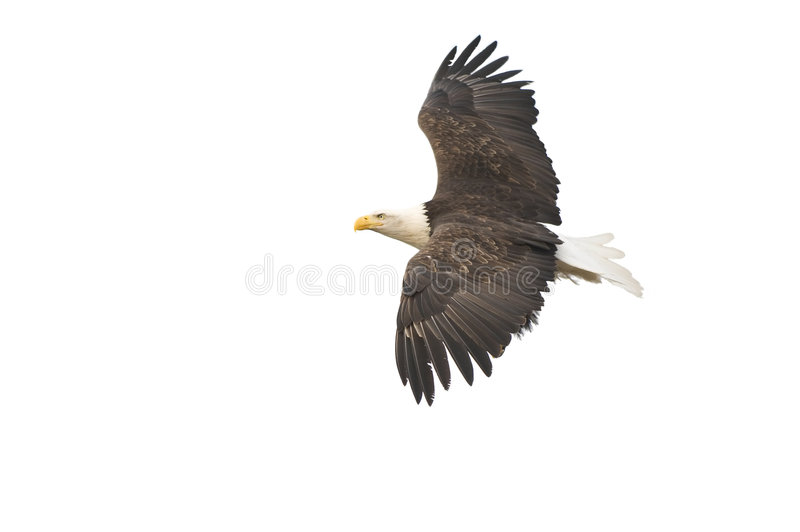 Isolated bald eagle in flight royalty free stock photo