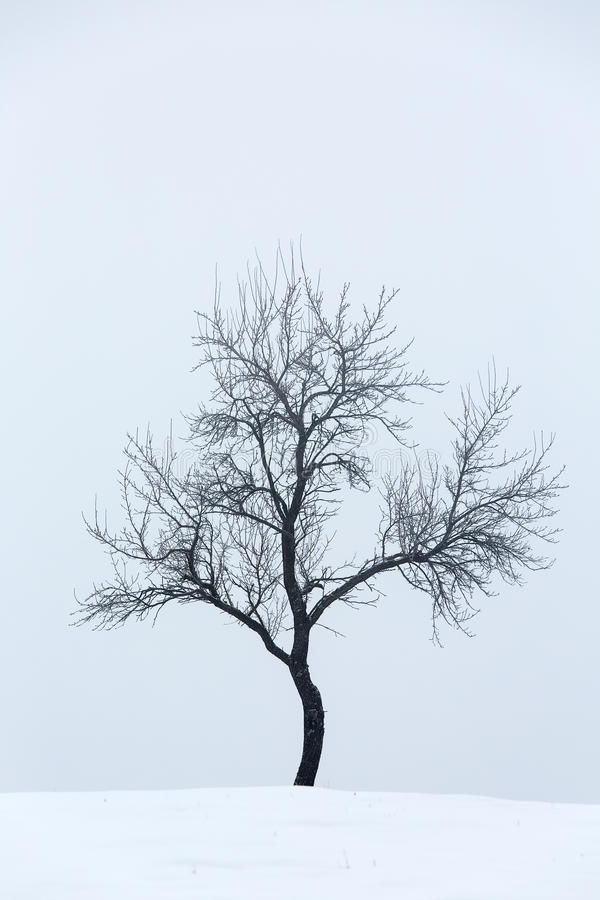 Isolated bare tree against white background in winter royalty free stock photo