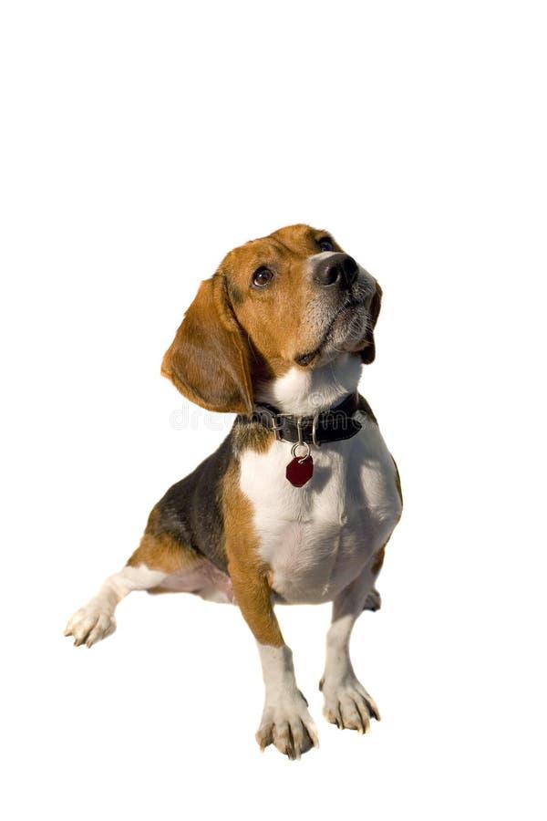 Isolated Beagle royalty free stock photo