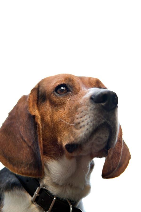 Isolated Beagle stock image