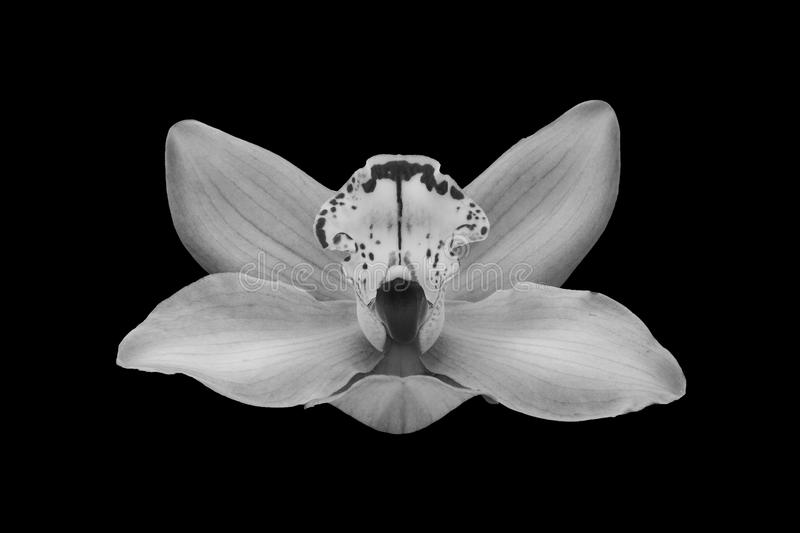 Isolated beautiful orchid in black and white.  royalty free stock images