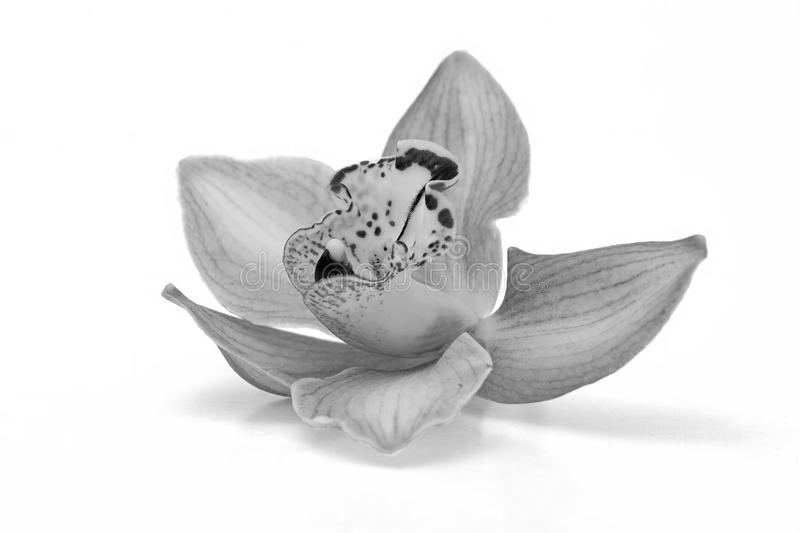 Isolated beautiful orchid in black and white.  stock photos