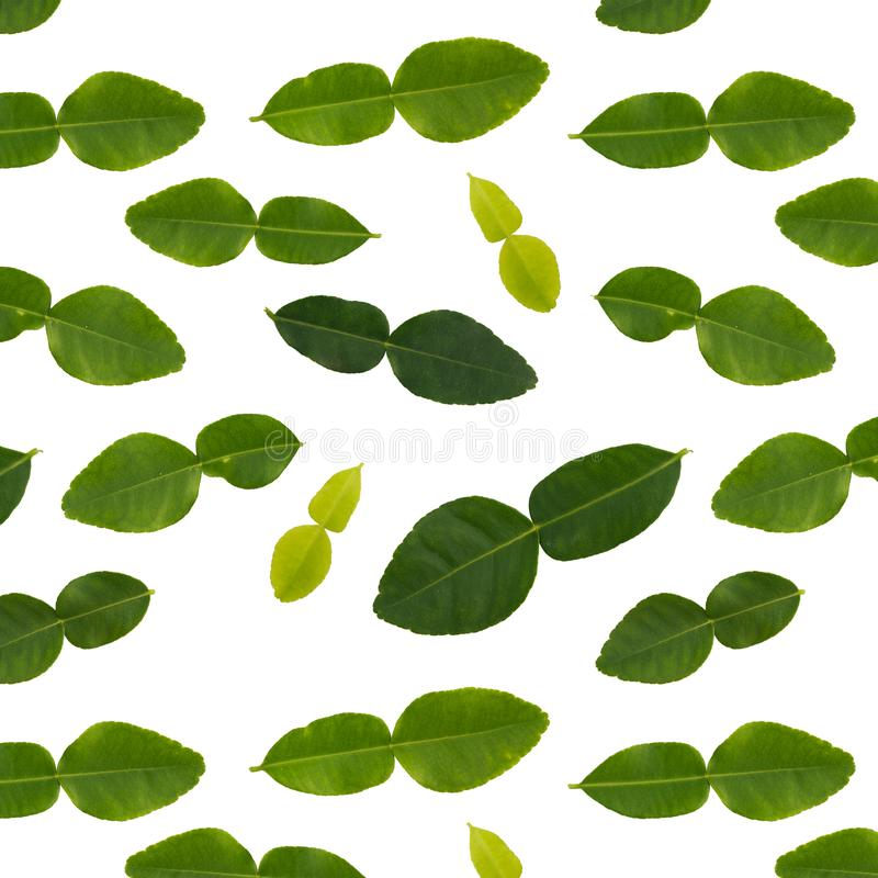 Isolated bergamot leaves seamless pattern in white background royalty free stock photos