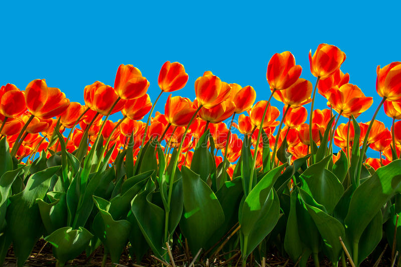 Isolated Bicolor Red Yellow Tulips blooming stock image