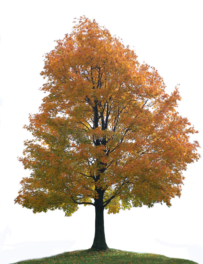 Isolated Big Lone Maple Tree. Isolated Colorful Big Lone Maple Tree on Hill Top royalty free stock photos