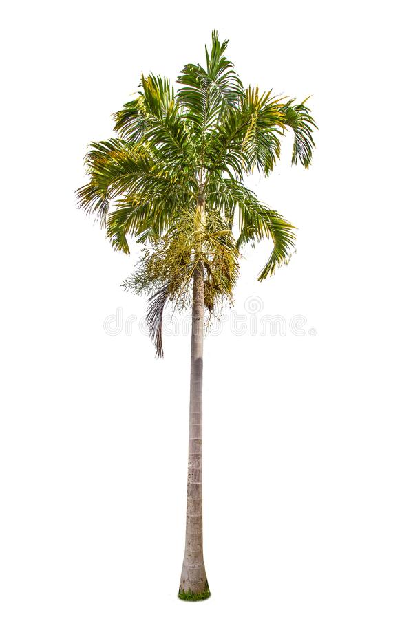 Isolated big Palm tree on White Background. Large trees database Botanical garden organization elements of Asian nature in Thailand, tropical trees isolated stock image