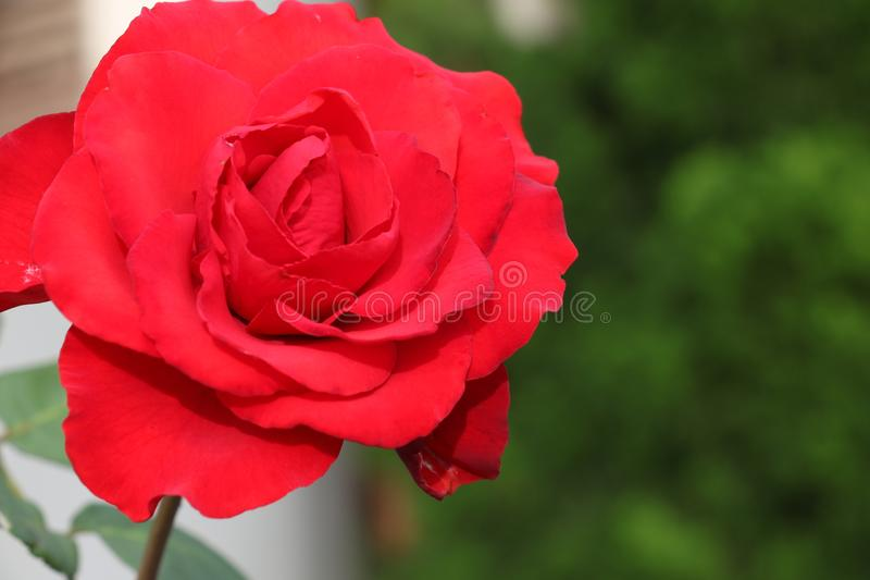 Isolated big red rose in a garden, symbol of love, romance, admiration and celebration. Valentine`s Day, birthday, anniversary gift. Big red petals in a green royalty free stock images