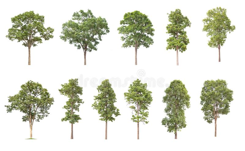 Isolated big tree on white background ,The collection of trees. Large trees database Botanical garden organization elements of Asian nature in Thailand stock illustration