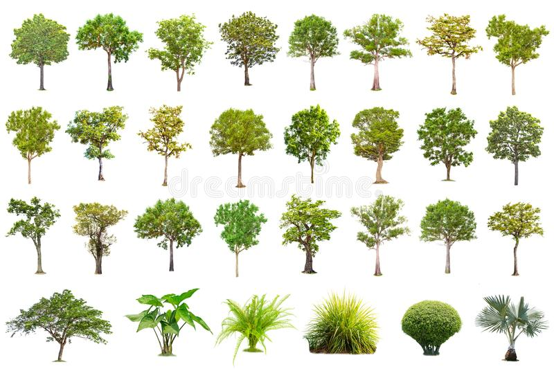 Isolated big tree on white background ,The collection of trees. Large trees database Botanical garden organization elements of Asian nature in Thailand royalty free stock photography